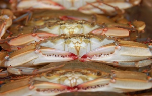 Chesapeake Bay blue crabs for sale in Annapolis, Maryland, photo by multimedia journalist and environment reporter Pamela Wood.