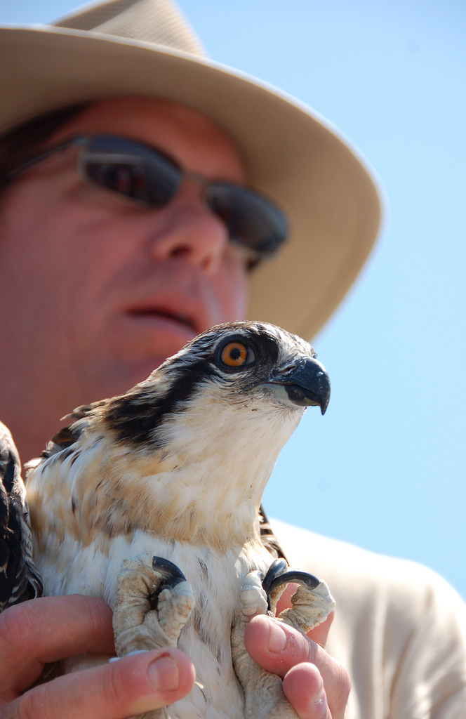 Chesapeake Bay osprey, photo by multimedia journalist and environment reporter Pamela Wood.