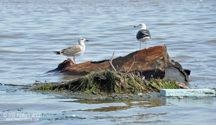 Seagulls perch on debris floating in the Chesapeake Bay, photo by multimedia journalist and environment reporter Pamela Wood.