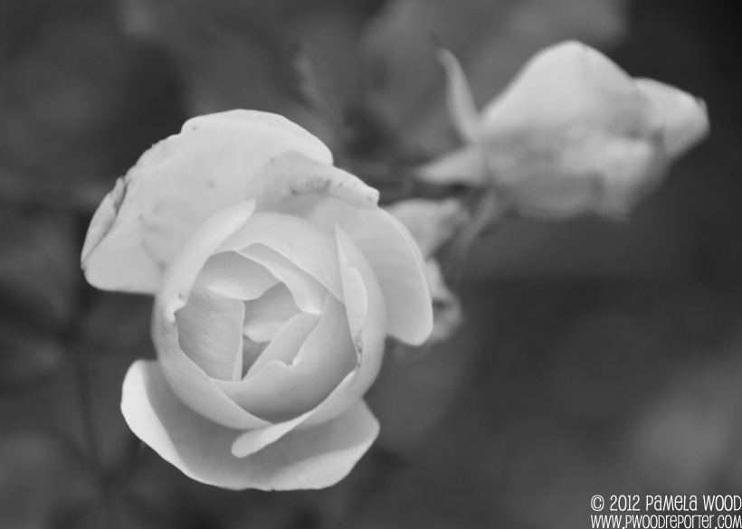 Rose bush, photo by multimedia journalist Pamela Wood.